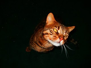 Poetry for Cats - Poets Supporting the Great Lakes Bengal Rescue (6/6)