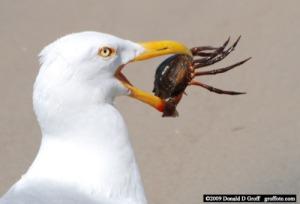 Seagull Crab